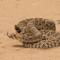 Crotalus atrox, south Texas