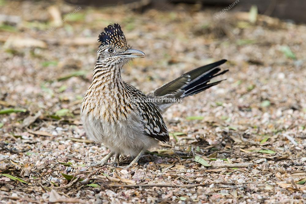 Greater Roadrunner (Geococcyx californianus) female. (Tucson, Arizona)