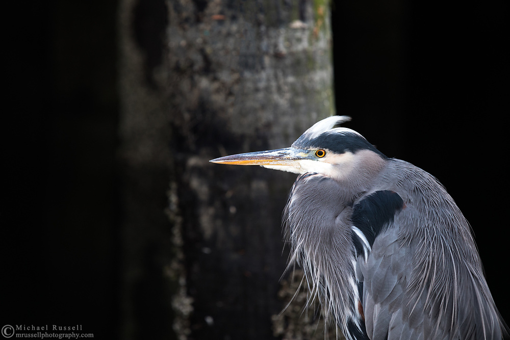 A Great Blue Heron (Ardea herodias) resting on the dock beneath the boardwalk at Granville Island in British Columbia, Canada.