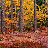 """""""The Pine Woods""""<br /> <br /> Beautiful woods of pine and colorful deciduous trees with a forest floor of ferns!!<br /> <br /> Autumn Landscapes by Rachel Cohen"""