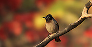 Pycnonotus xanthopygos, Yellow-vented Bulbul AKA White-Spectacled Bulbul, perched on a branch Photographed in Israel in March