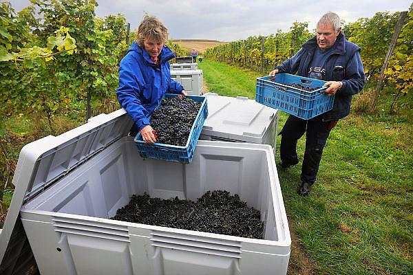 Nederland, Groesbeek, 29-9-2008Druivenoogst biologische wijnhoeve de Colonjes. Vrijwilligers helpen bij de pluk. De teelt wordt gedaan met natuurlijke bestrijdingsmiddelen. Door  het warmere klimaat, en de ontwikkeling van een speciale druivensoort, de Cabernet Colonjes, is er een mooie opbrengst. Dit jaar wordt een recordoogst verwacht van 24000 liter, op 5 hectare. (30-35000 kilo).Organic wine grape harvest the farm Colonjes. Volunteers assist in the gathering. The cultivation is done with natural pesticides. By the warmer climate and the development of a special type of grape, the Cabernet Colonjes, there is a nice yield. This year a record harvest of 24,000 liters expected, on 5 hectares. (30-35000 kilos).Foto: Flip Franssen/Hollandse Hoogte
