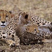 Cheetah, (Acinonyx jubatus) Family napping during midday. Masai Mara Game Reserve. Kenya. Africa.