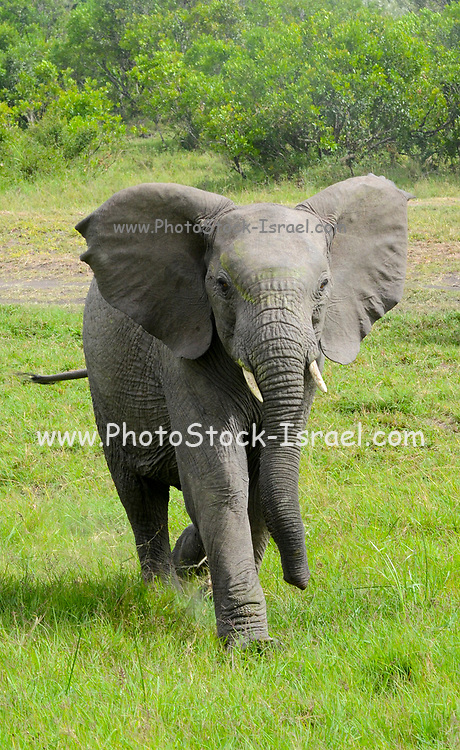 Kenya, Masai Mara, Young elephant charges at camera