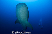 whale shark, Rhincodon typus, rises out of spawning aggregation of mutton snappers, past divers, Gladden Spit and Silk Cayes Marine Reserve, Belize, Central America ( Caribbean Sea )