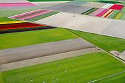 Nederland, Flevoland, Noordoostpolder, 07-05-2015; <br /> bloembollenveld en grazende koeien, omgeving Marknesse.<br /> Bulbs field and grazing cows, new polder Noordoostpolder.<br /> <br /> luchtfoto (toeslag op standard tarieven);<br /> aerial photo (additional fee required);<br /> copyright foto/photo Siebe Swart