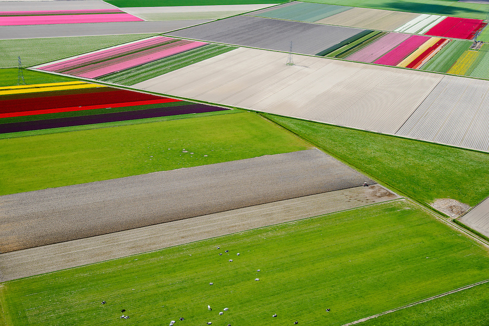 Nederland, Flevoland, Noordoostpolder, 07-05-2015; <br /> bloembollenveld en grazende koeien, omgeving Marknesse.<br /> Bulbs field and grazing cows, new polder Noordoostpolder.<br /> <br /> luchtfoto (toeslag op standard tarieven);<br /> aerial photo (additional fee required);<br /> copyright foto/photo Siebe Swart