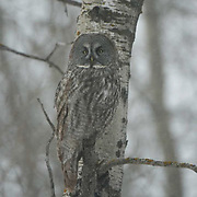 Great Gray Owl, perched in aspen tree, hunting. The pattern in its feathers giving it excellent camouflage. Northern Minnesota.