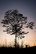 A tree and a young girl silhouetted against the summer sky at sunset in the grounds of the Eden Project, Cornwall.