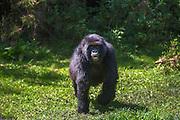 A sub-adult mountain gorilla (Gorilla beringei beringei) running in the forest, Parc de Volcanos, Rwanda, Africa