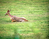 Doe with mange?. Image taken with a Fuji X-T3 camera and 200 mm f/2 OIS lens (ISO 320, 200 mm, f/3.6, 1/340 sec).