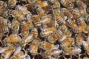 Worker bees on a honeycomb