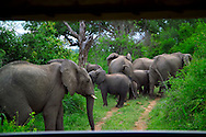 KRUGER NATIONAL PARK, SOUTH AFRICA, DECEMBER 2004. A herd of 30 elephants surrounds our vehicle as they exit the river.  Kruger National Park offers good viewing of the 'Big Five' and many other species. Photo by Frits Meyst/Adventure4ever.com