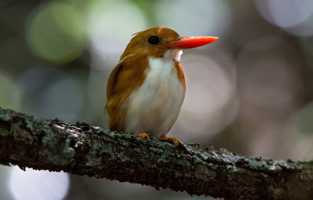 The Madagascan pygmy kingfisher is endemic to Madagascar. It lives in dry woodland areas. They primarily eat frogs and insects.