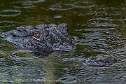 An American Alligator, Alligator mississippiensis, rests on the surface during a summer downpour in Big Cypress National Preserve in the Florida Everglades.