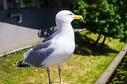 Seagull. Photographed in Riga, Latvia