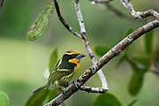Gilded Barbet (Capito auratus) Male<br /> Yasuni National Park, Amazon Rainforest<br /> ECUADOR. South America<br /> HABITAT & RANGE: Forests of western Amazon and Orinoco from Colombia, Ecuador, Peru, Venezuela, Bolivia and Brazil