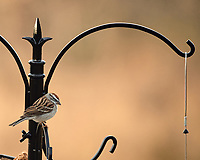 Chipping Sparrow. Image taken with a Nikon D5 camera and 80-400 mm VRII lens (ISO 640, 400 mm, f/5.6, 1/400 sec).