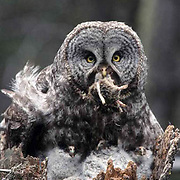 Great Gray Owl, (Strix nebulosa)  Adult on nest with chicks preparing to feed them with prey. Montana.