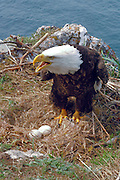 A ground nesting bald eagle keeps watch over eggs.