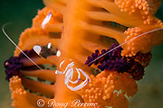 commensal shrimp, Ancylomenes magnificus (formerly Periclemenes magnificus ) on sea pen, Virgularia sp., Puerto Galera, Mindoro Island, Philippines, Tayabas Bay ( Western Pacific Ocean )