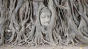 A sandstone Buddha head trapped in the roots of a Bodhi tree at Wat Phra Mahathat temple on 6th March 2016 in Ayuthaya, Northern Thailand. The head was once part of a sandstone Buddha image which fell off the main body onto the ground. It was gradually trapped into the roots of a constantly growing Bodhi tree.