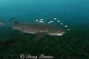 broadnose sevengill shark or cow shark, Notorhynchus cepedianus (male), with juvenile white trevally, Pseudocaranx dentex, Victoria, Australia