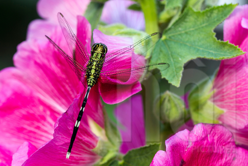 Close up of a dragonfly landed on a lavatera flower. Tao Dan park, Ho Chi Minh city, Vietnam, Asia