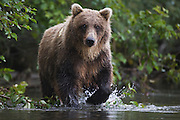 A coastal brown bear ( Ursus arctos ) slowly walks through water while fishing, Katmai Peninsula, Alaska