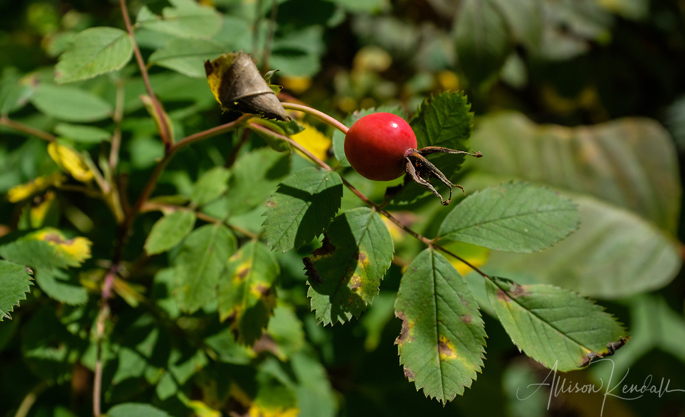 Detail of a red wild rose hip against green foliage in late summer, Spruce Woods Provincial Park, Manitoba