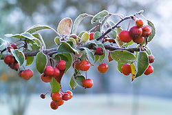 Hoar frost on the berries of Malus 'Evereste' - Crab apple