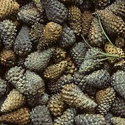 A squirrel cache of pine cones. Canada