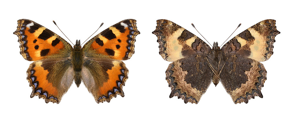 Small Tortoiseshell - Nymphalis urticae  Wingspan 42mm. A colourful butterfly associated with waste and wayside areas where larval foodplant flourishes. Fond of basking in the sun, usually on bare ground. Adult has marbled orange, yellow and black upperwings; underwings are grey-brown. Double- or triple-brooded: flies March–October. Also hibernates. Larva is yellow and black and spiny; typically they are gregarious and feed on Common Nettle. Fairly common and widespread but much reduced in numbers in recent years.