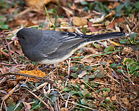 Dark-eyed Slate-colored Junco. Late Autumn Backyard Nature in New Jersey. Image taken with a Fuji X-T2 camera and 100-400 mm OIS lens (ISO 250, 400 mm, f/5.6, 1/60 sec)
