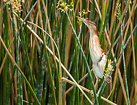 A female Least Bittern, Ixobrychus exilis, perches in reeds in the Riparian Preserve at Water Ranch, Gilbert, Arizona