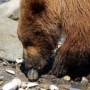 Alaskan Brown Bear, (Ursus middendorffi)  Close up of bear eating clam. Katmai National Park. Alaska.