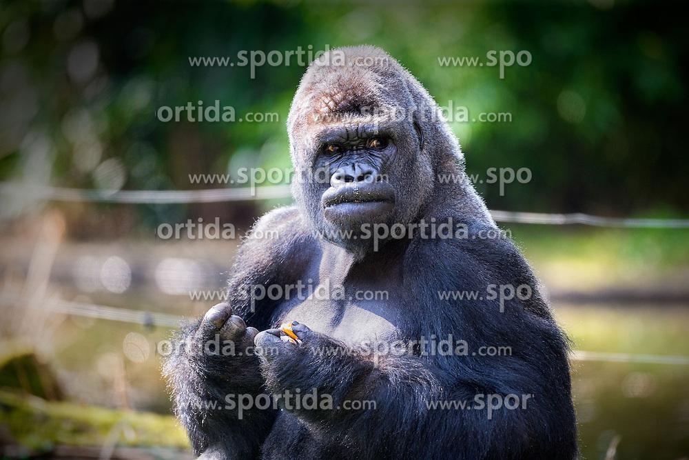 01.04.2016, Zoo, Duisburg, GER, Tiere im Zoo, im Bild Gorilla schaut waehrend des Fressens misstrauisch zu den Zoobesuchern // during visit to the Zoo. Duisburg, Germany on 2016/04/01. EXPA Pictures © 2016, PhotoCredit: EXPA/ Eibner-Pressefoto/ Hommes<br /> <br /> *****ATTENTION - OUT of GER*****
