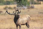 Bugling bull elk in autumn habitat