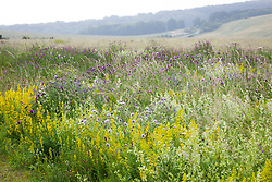 The meadow at Magdalen Hill Down Butterfly Nature Reserve with Greater Knapweed, Field Scabious and Hedge and Lady's Bedstraw.  Centaurea scabiosa, Knautia arvensis, Galium verum, Galium mollugo