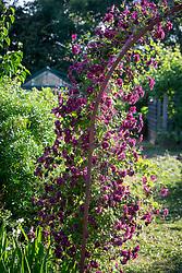 Clematis 'Purpurea Plena Elegans' AGM syn. C.viticella 'Purpurea Plena Elegans' growing over an arch.