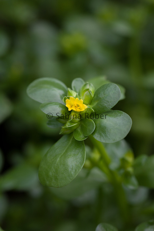 Portulaca oleracea var. sativa - golden purslane