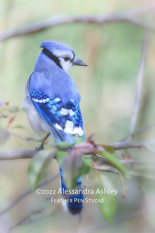 Blue jay (Cyanocitta cristata) in profile view, perched in crabapple tree with early spring foliage.