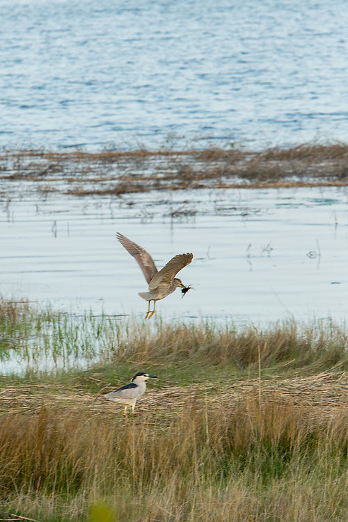 A male black-crowned night heron wading in the salt marsh, and a female in flight, at the Salt Marsh Nature Center in Brooklyn's Marine Park.