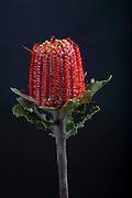 Bansia protea, Tropical Flower