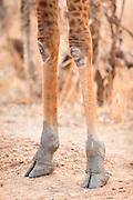 Detail of giraffe knees, Luangwa River Valley National Park, Zambia, Africa