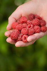 Hand holding raspberries