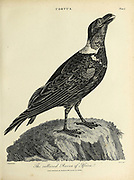 The Collard Raven of Africa Copperplate engraving From the Encyclopaedia Londinensis or, Universal dictionary of arts, sciences, and literature; Volume V;  Edited by Wilkes, John. Published in London in 1810