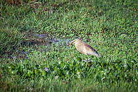 Striated Heron eating a frog.
