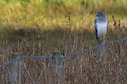 Male hen harrier (Circus cyaneus) at Middlebere on the shores of Poole Harbour, Dorset, UK.