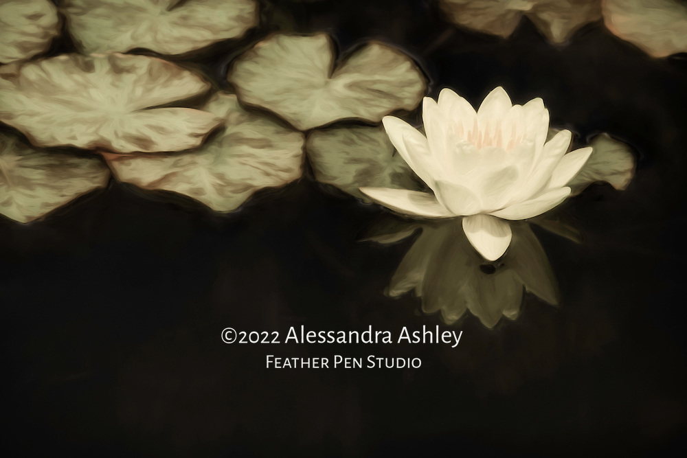 Pale yellow colored waterlily growing in garden pond, with reflection and lily pads.